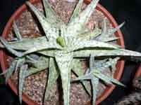 Aloe Snow Flake